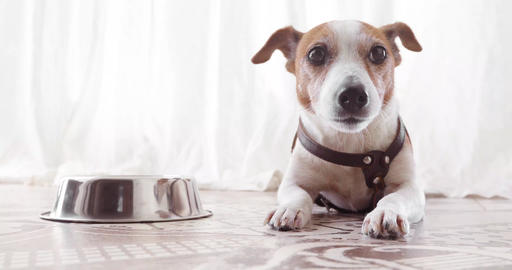 Jack Russell dog lies near empty bowl Live Action