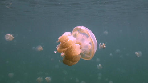 In the lake of the island Eil Malk archipelago, millions of jellyfish Footage