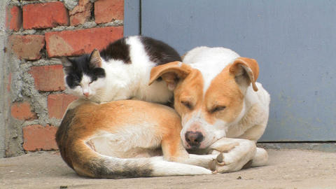 Dog and Cat Stock Video Footage