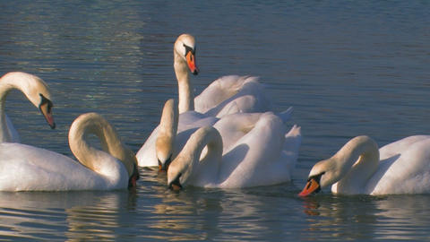Flock of Swans on the Lake Footage