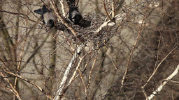 A pair crows nest in the tree Footage