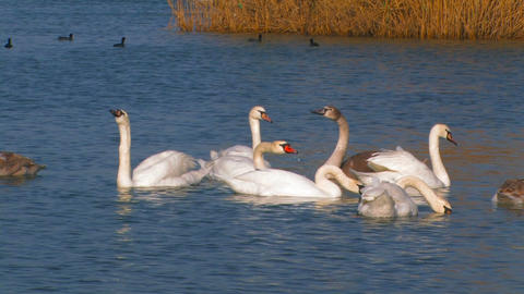 Flock Of Swans On The Lake stock footage