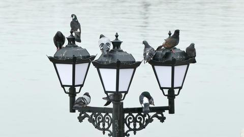 Pigeons on the Lanterns Footage