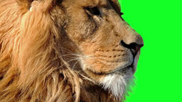 Close-up Cinemagraph of male lion with green background Footage