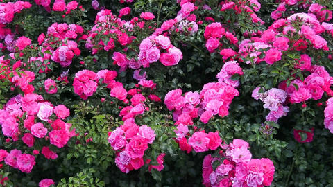 Pink roses in the park, flower garden with roses Live Action
