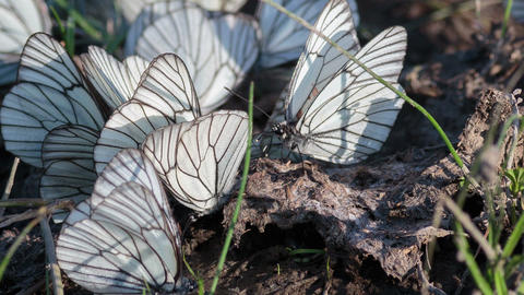 Black-veined White butterfly4 Footage
