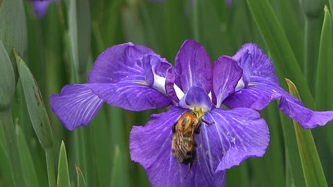 A bee gathering honey from iris Footage