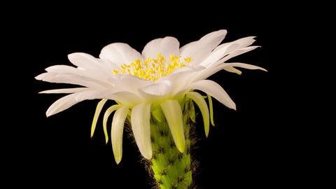 Time Lapse Of A White Flower Opening On A Cactus Footage