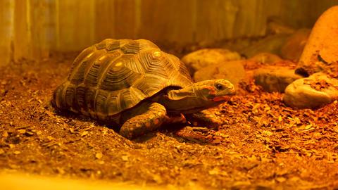 Turtle in the terrarium Footage