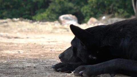 Stray black dog sleepy on ground Footage