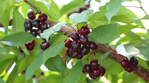 Branches of cherry trees with ripe appetizing cherries during harvesting Footage
