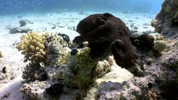 Love couple of Octopus hiding in coral underwater Red sea Footage