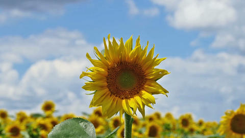 Close up of sunflower and zoom out to a field of blooming sunflowers Footage