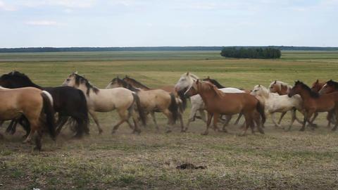 A herd of horses run across the field 影片素材
