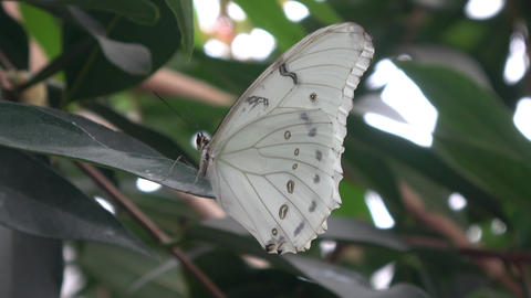 Beautiful large White butterfly with dark eye spots on wings. Morpho polyphemus Footage