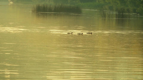 Ducks floating on sunny summer river in the evening Archivo