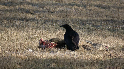Raven eating dead roe deer carrion meat on spring field 영상물