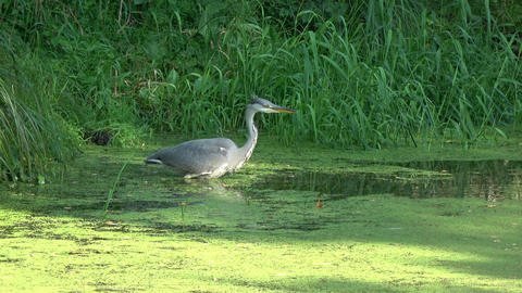 Grey heron in summer pond Live Action