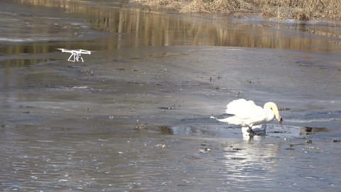 Drone filming pair white swans on spring river ice Footage