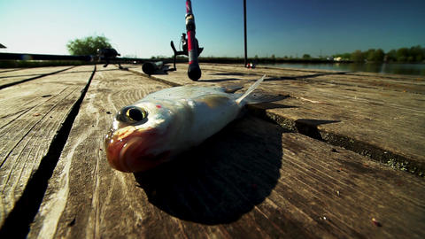 Live fish on shore. Morning catch. Breathes gills Footage