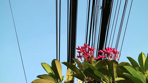 Nature and technology, Plumeria flowering tree and... Stock Video Footage