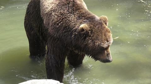 Brown bear in water. Portrait of brown bear (Ursus arctos beringianus) Live Action