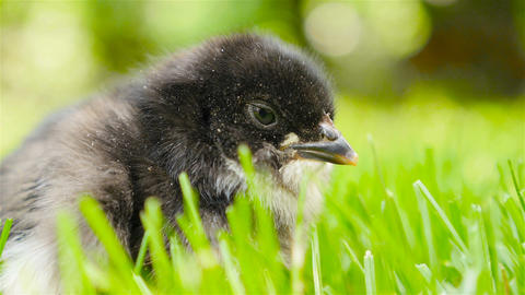 Newborn chick in the grass. Opens the beak Footage