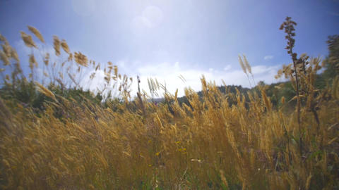 Golden grass blowing in strong wind Footage