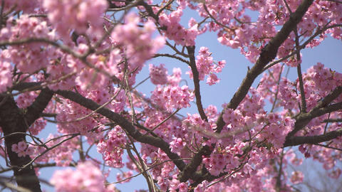 Pink Sakura tree Footage