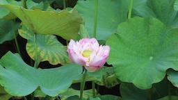 Lotus flower Taipei Botanical Garden Taipei Taiwan Footage