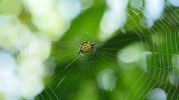 Spider (Hosselt's Spiny Spider) on web in forest Live Action