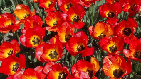 Flowering Red Tulips Footage