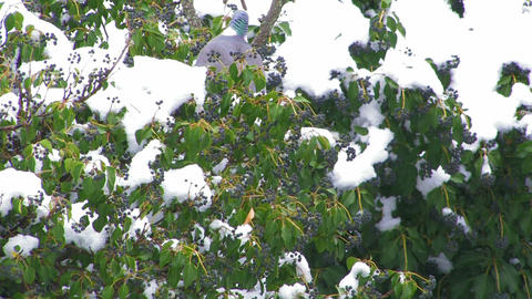 Wild pigeons on a snow-covered tree Footage