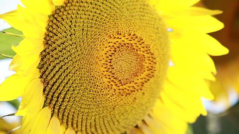 Sunflower. Close up Footage