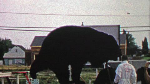 1967: Circus black bear showboat stands on tiny pedestal Footage