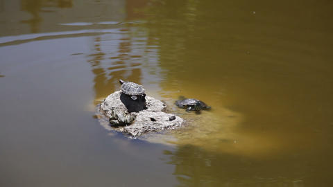 Turtles in the Pond Footage