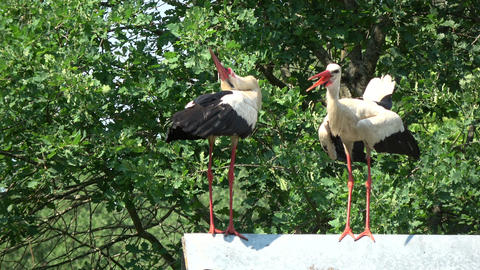 Pair white storks Ciconia chattering clattering on barn old roof Live Action
