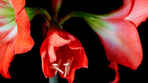 Amaryllis(Hippeastrum sp.) flower ビデオ