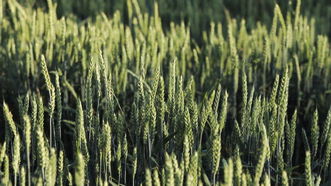 Close-up Green barley field Footage