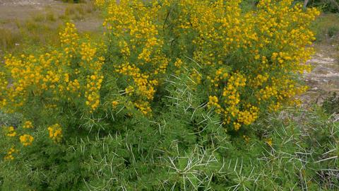 Yellow flowers on flowering acacia Vahellia Karroo bush... Stock Video Footage