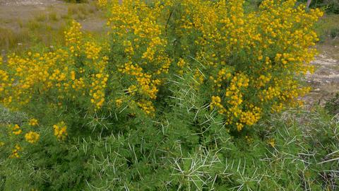 Yellow flowers on flowering acacia Vahellia Karroo bush in wild nature Footage