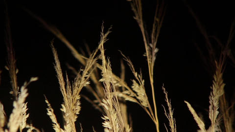 Dry yellow grass illuminated by a bulb shape in the sky black behind them 55 Footage