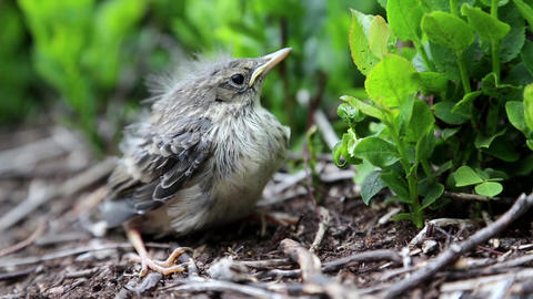 Little bird sits in the bushes and looks around Footage
