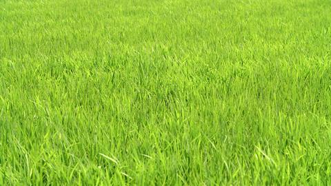Swinging green grass in the wind ライブ動画