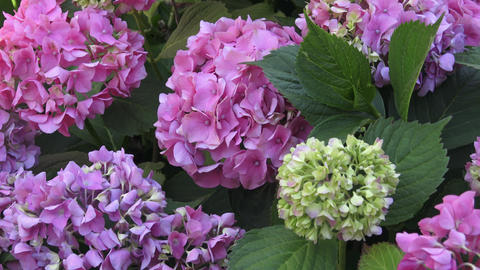 Beautiful flowers. Beauty in nature. Hydrangea macrophylla Footage