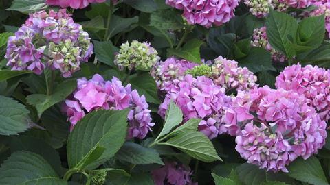Beautiful flowers. Beauty in nature. Hydrangea macrophylla Stock Video Footage