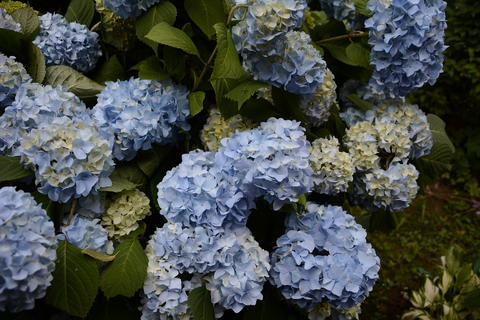 Blue hydrangea garden with green leaves in the garden フォト