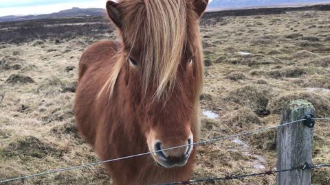 Well groomed Icelandic horse playing in open field during winter season, Iceland Archivo