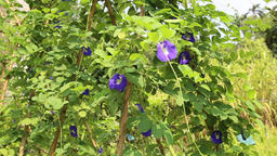 Butterfly pea with flowers and pods ビデオ