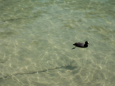 eurasian coot in the lake in Annecy France フォト